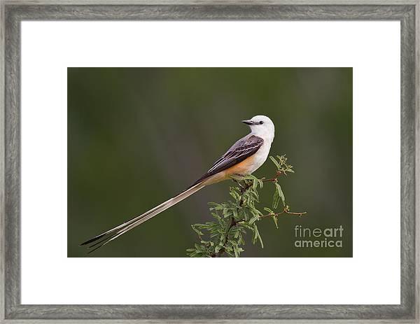 Male Scissor-tail Flycatcher Tyrannus Forficatus Wild Texas Framed Print