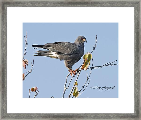 Male Snail Kite Poses Framed Print