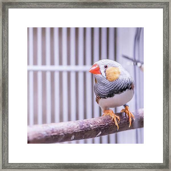 Male Zebra Finch Framed Print