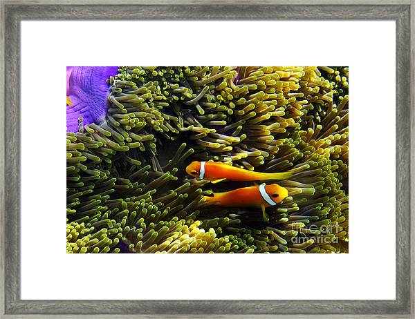 Framed Print featuring the photograph Maledives Clown Fish by Juergen Held