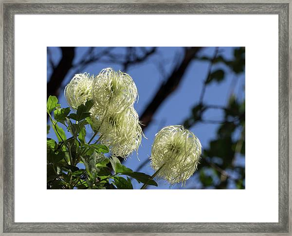 Old Man's Beard Framed Print