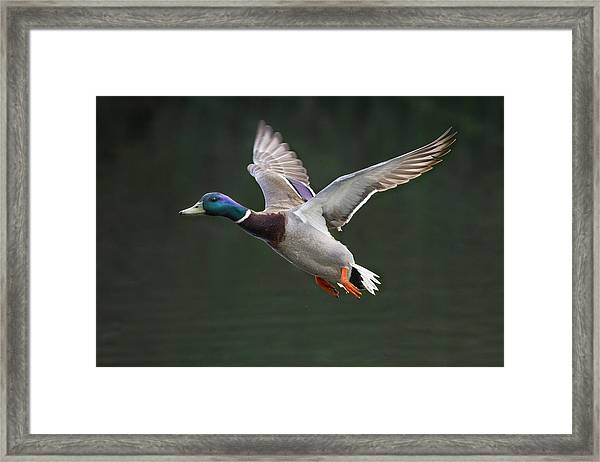 Mallard Drake In Flight Framed Print
