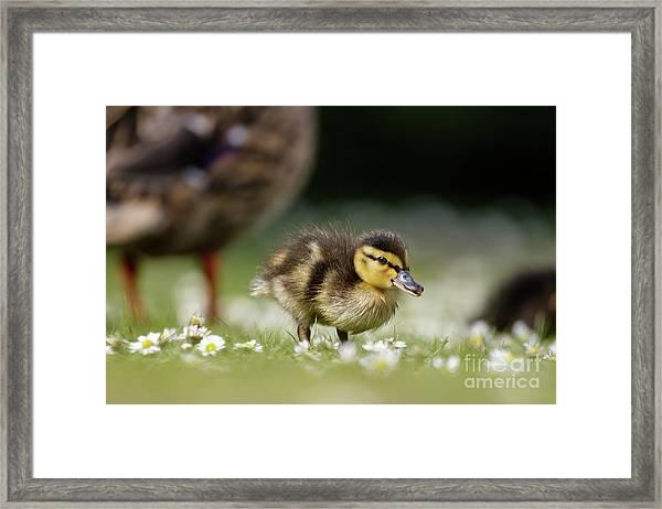 Mallard Ducklings - Anas Platyrhynchos - Grazing Feeding Among Dai Framed Print