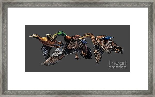 Mallard Ducks In Flight Framed Print