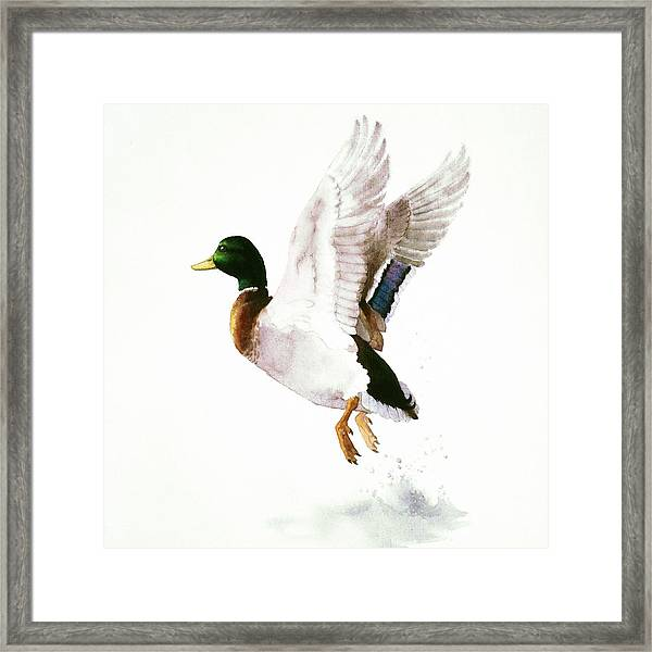 Mallard Flying Away Watercolor Framed Print