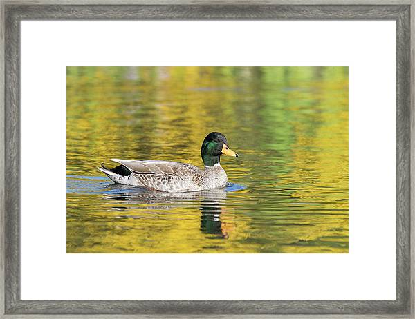 Mallard In Yellow Framed Print
