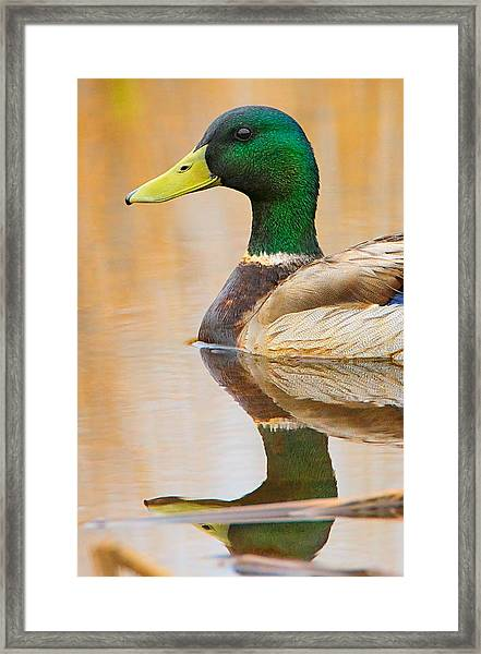 Framed Print featuring the photograph Mallard Mirror by William Jobes