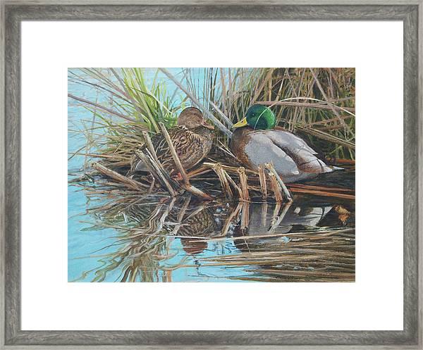 Mallards At Rithet's Bog Framed Print