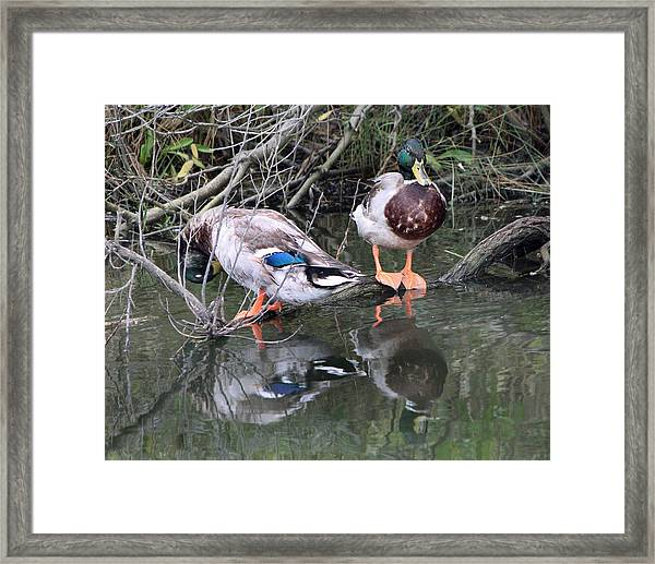 Mallards Framed Print