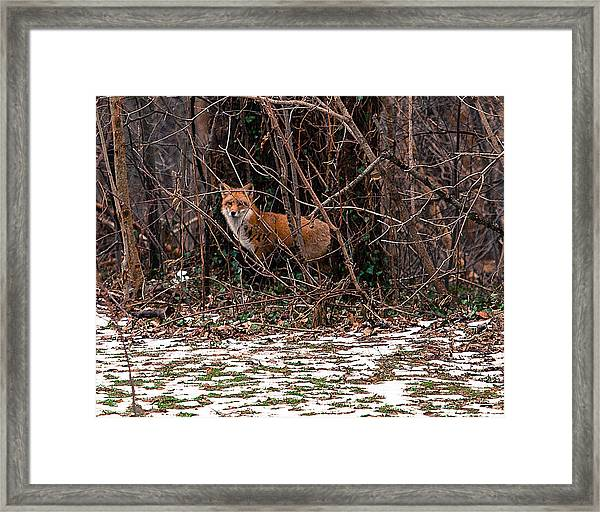 Mama Fox Jan 2015 Framed Print