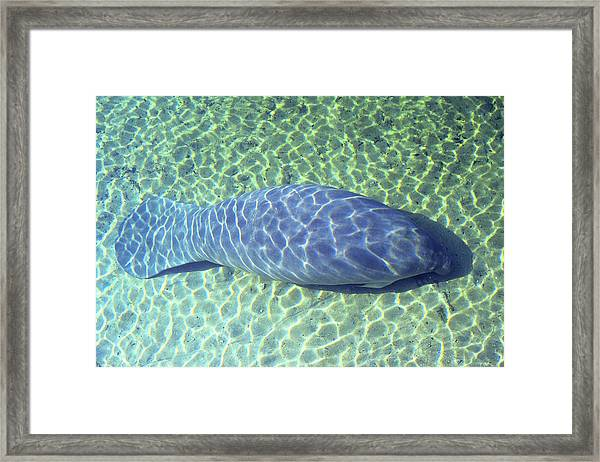 Manatee Framed Print