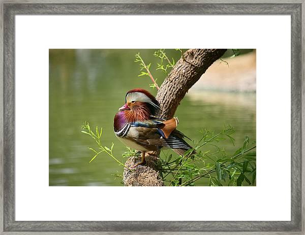 Mandarin Duck On Tree Framed Print