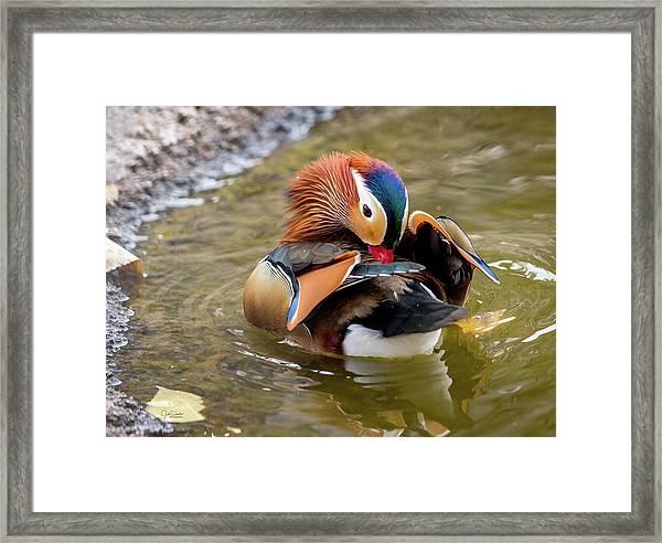 Mandarin Duck Preening Feathers Framed Print