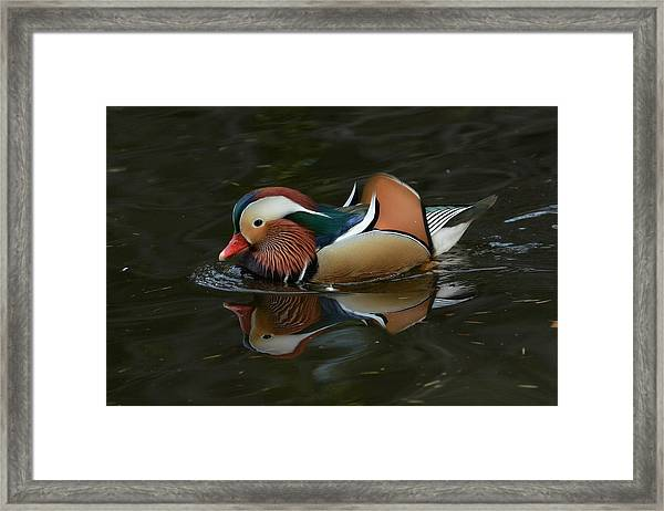 Mandarin Reflection Framed Print