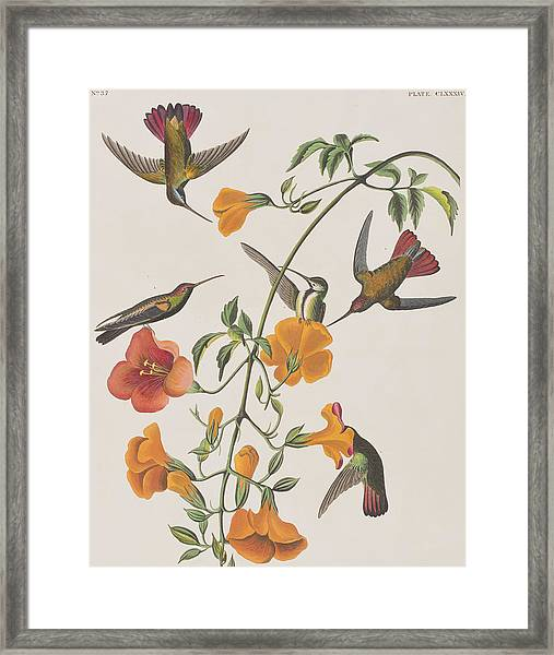 Mango Humming Bird Framed Print