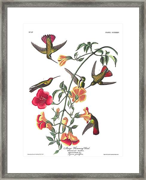 Mango Hummingbird Bird Framed Print