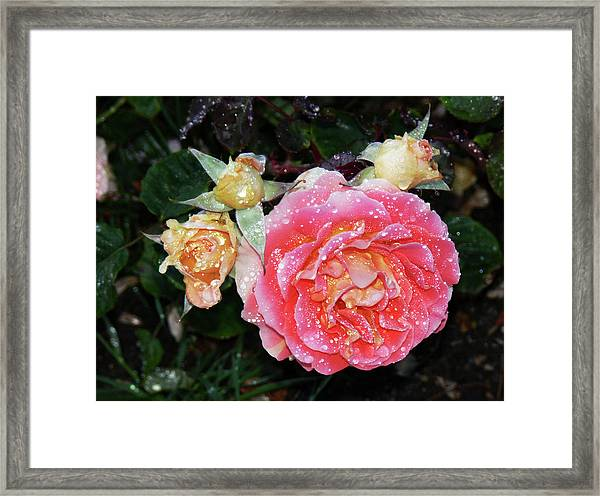 Mango Rose Framed Print