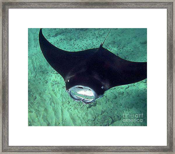 Manta Mouth Framed Print
