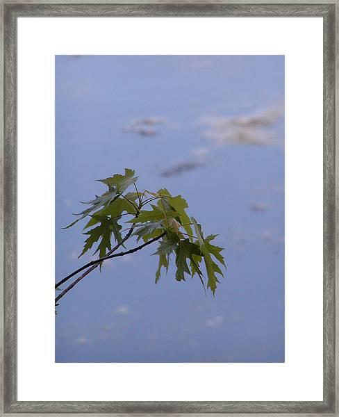 Maple Against Reflected Sky Framed Print by Randy Muir