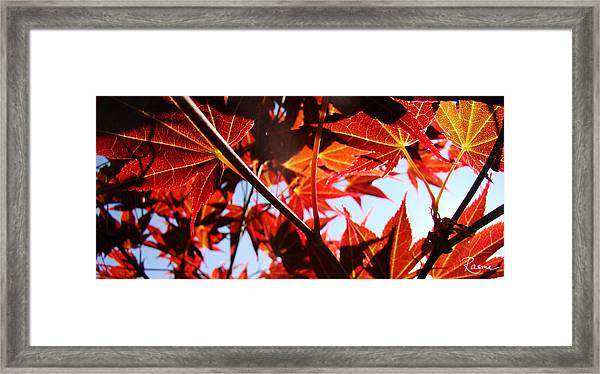 Maple Fire Framed Print