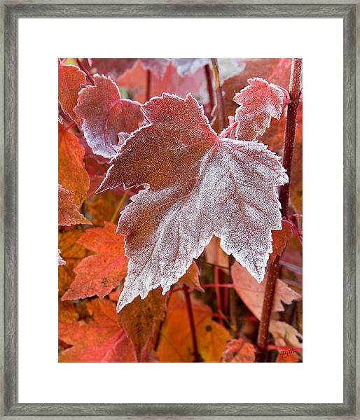 Maple Frost  Framed Print