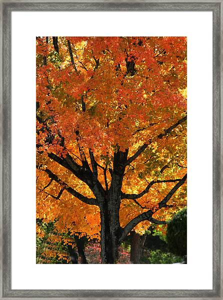 Maple Hill Maple In Autumn Framed Print