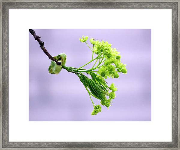Maple Tree Flowers Framed Print