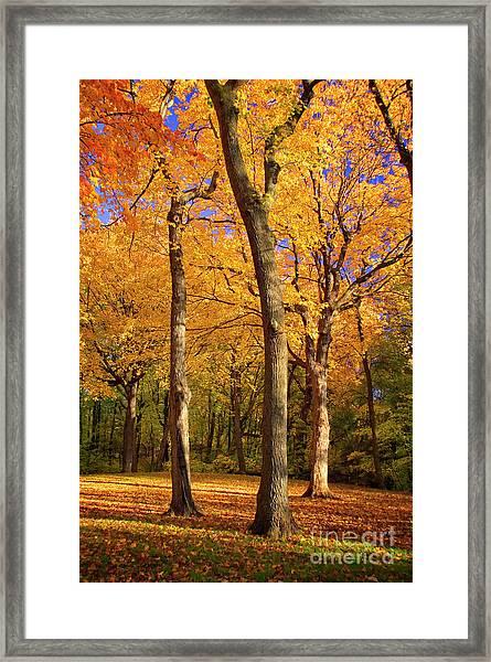 Maple Treo Framed Print