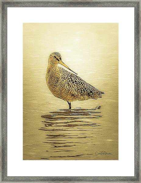 Marbled Godwit - Backward Glance Framed Print