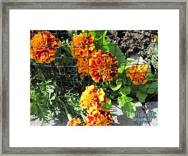 Marigolds In Prison Framed Print