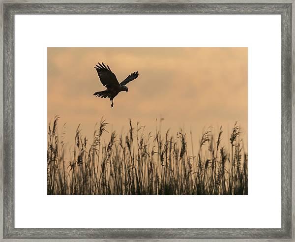 Marsh Harrier Hovering Over Reeds Framed Print
