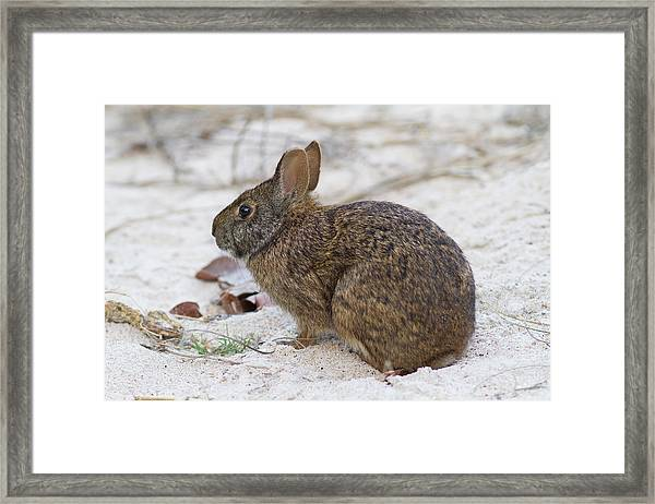 Marsh Rabbit On Dune Framed Print