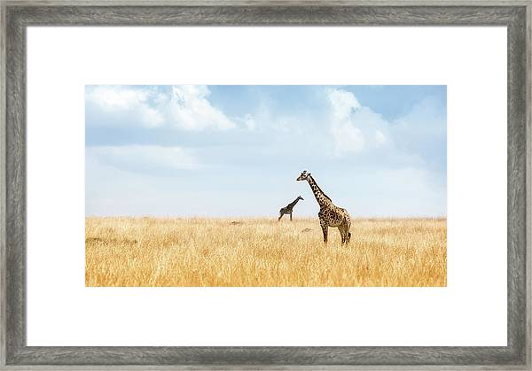 Masai Giraffe In Kenya Plains Framed Print