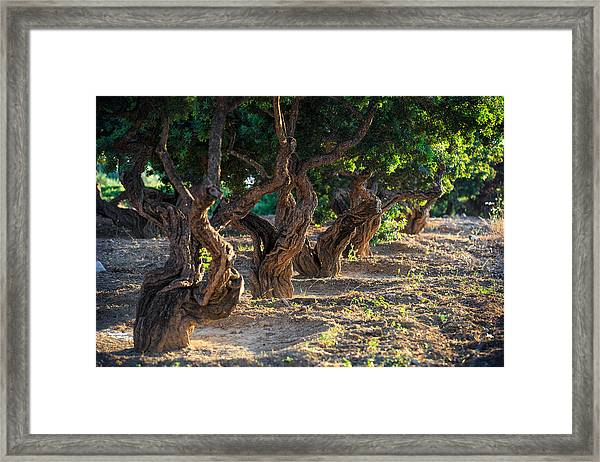 Mastic Tree   Framed Print