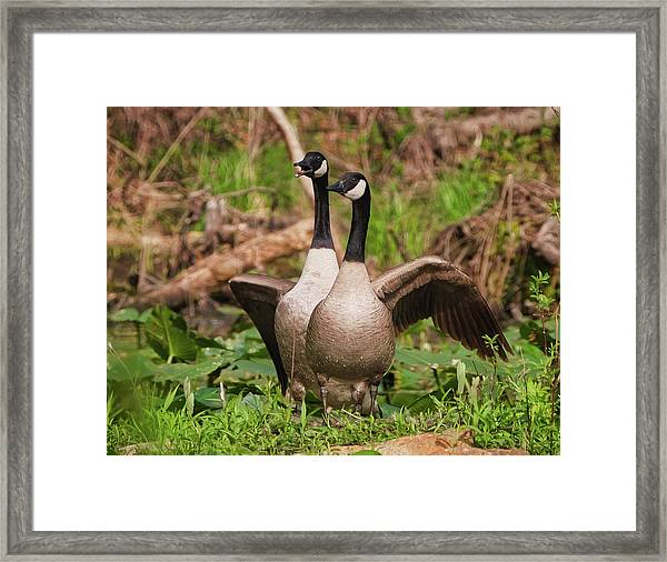 Mating Pair Guarding The Nest Framed Print