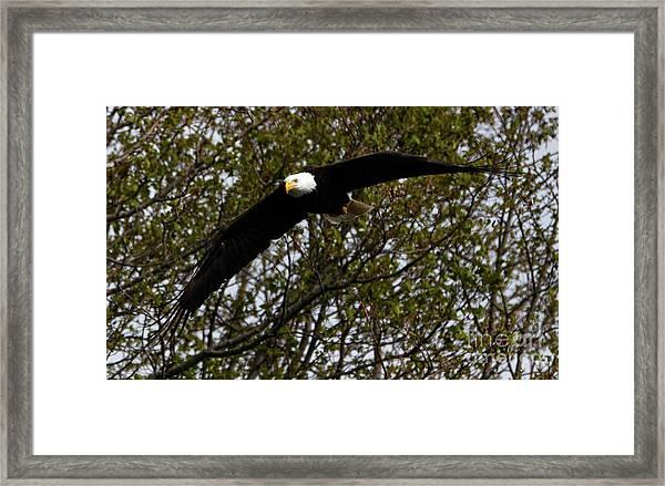 Mature Bald Eagle Framed Print