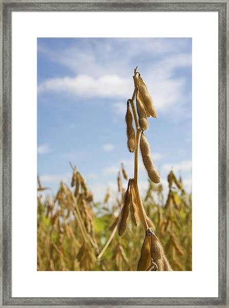 Maturing Soybeans Framed Print
