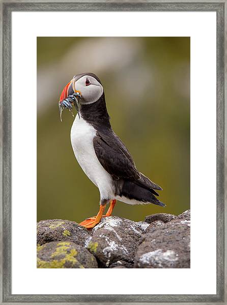 May Puffin Framed Print