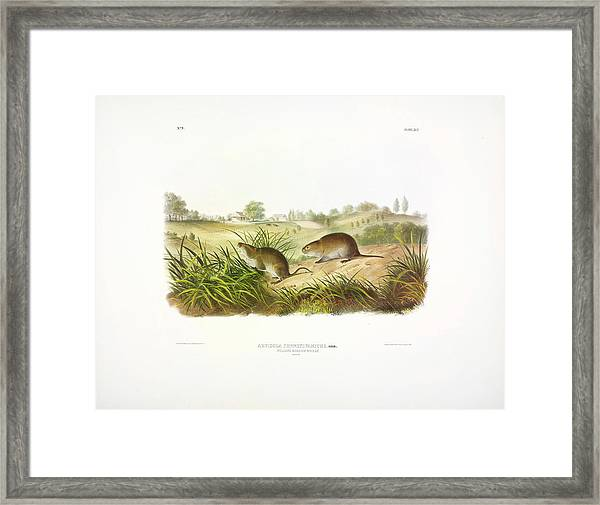 Meadow Mouse Framed Print