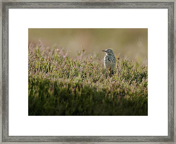 Meadow Pipit Framed Print
