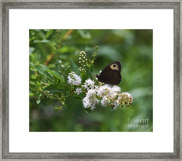 Meadowsweet Wood Nymph Framed Print