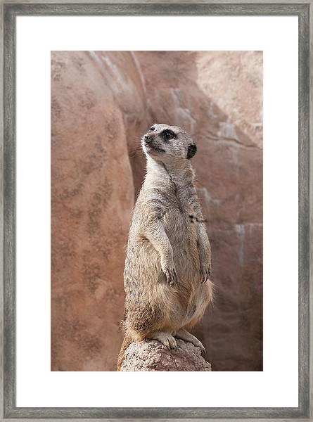 Meerkat Sentry 1 Framed Print
