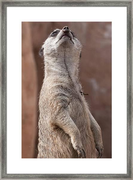 Meerkat Sentry 4 Framed Print