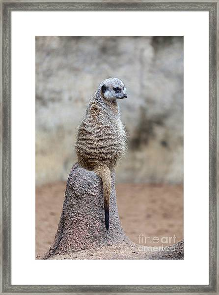Meerkat Sitting And Looking Right Framed Print