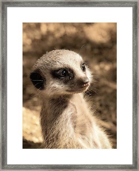 Meerkatportrait Framed Print