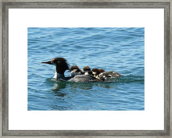 Merganser And Her Chicks Framed Print