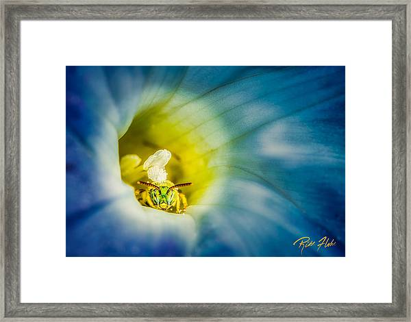 Metallic Green Bee In Blue Morning Glory Framed Print