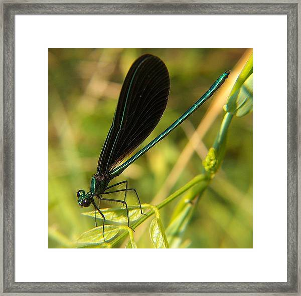 Michigan Damselfly Framed Print