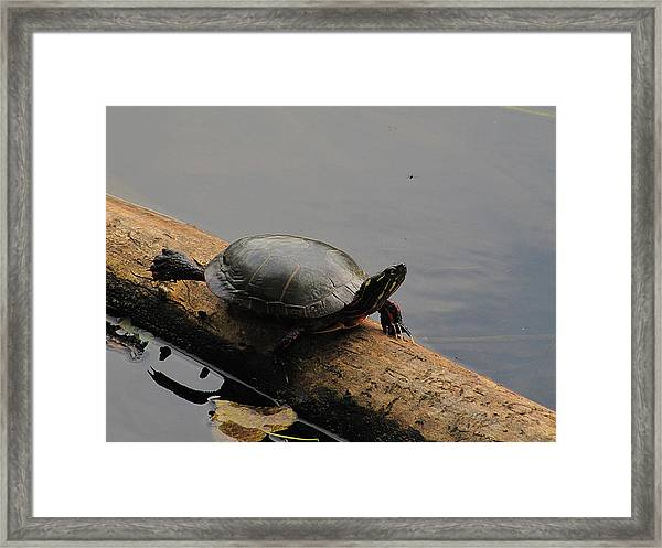 Michigan Painted Turtle Framed Print