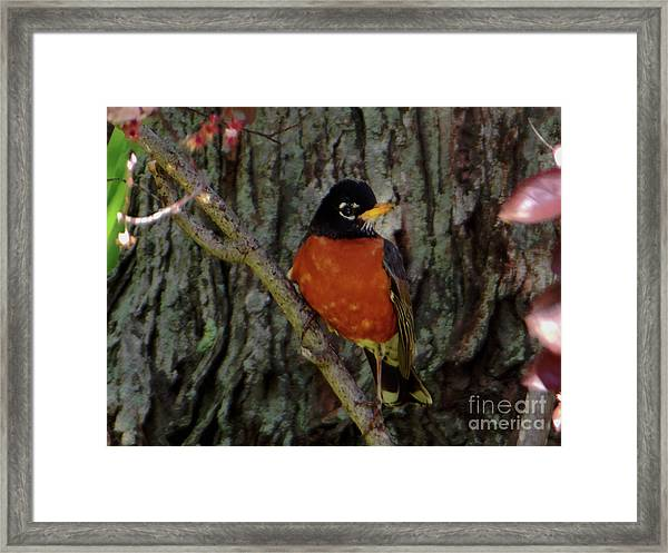 Michigan State Bird Robin Framed Print